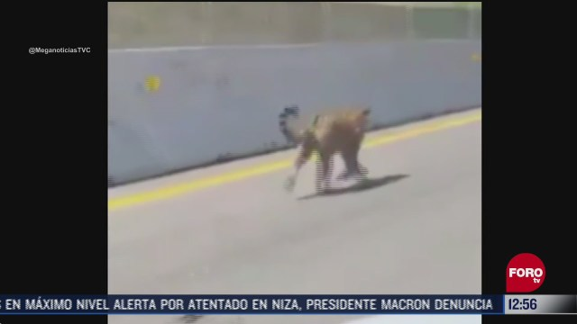 captan a jaguar en la autopista jala vallarta en nayarit