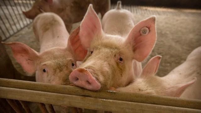 Cerdos en una granja en China
