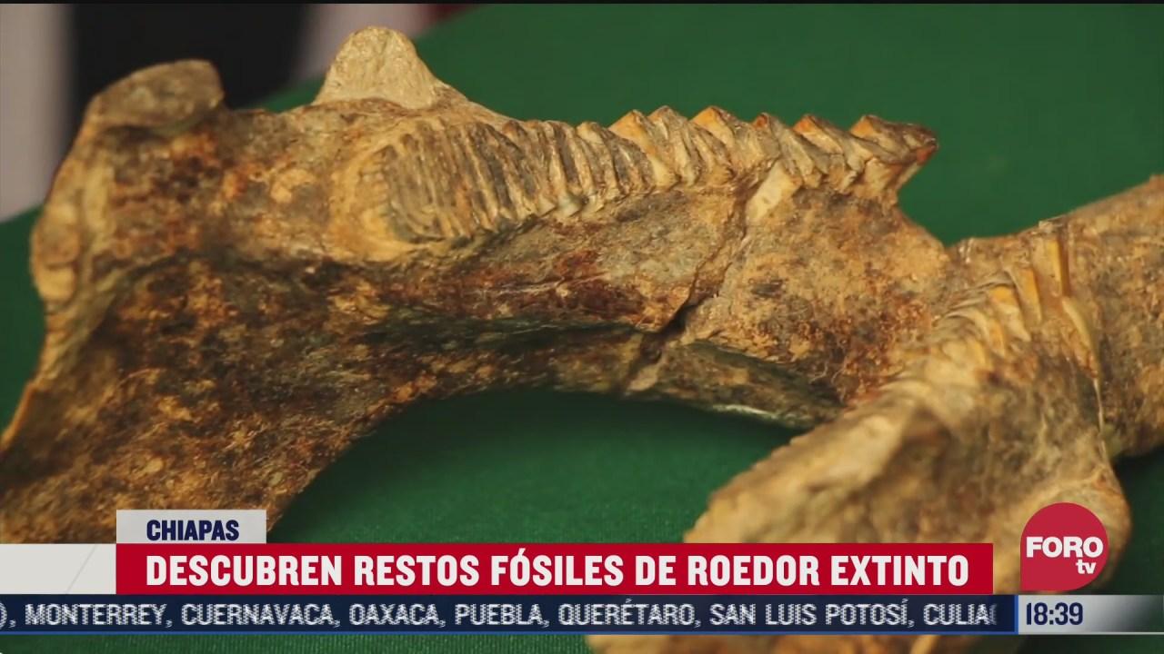 descubren restos fosiles de un capibara en chiapas