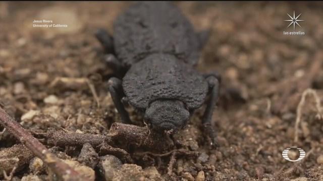 especie de escarabajo puede ser atropellado por un auto y sobrevivir