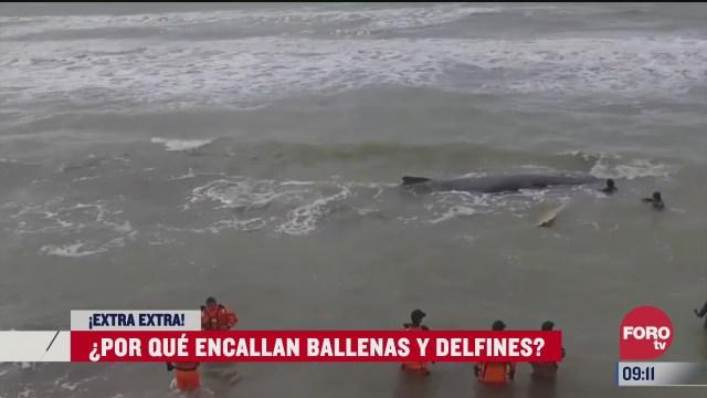 extra extra por que encallan las ballenas y los delfines
