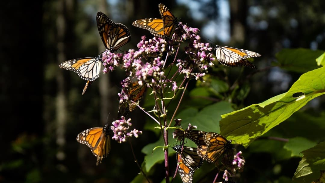 Inicia el paso de la Mariposa Monarca por Guanajuato