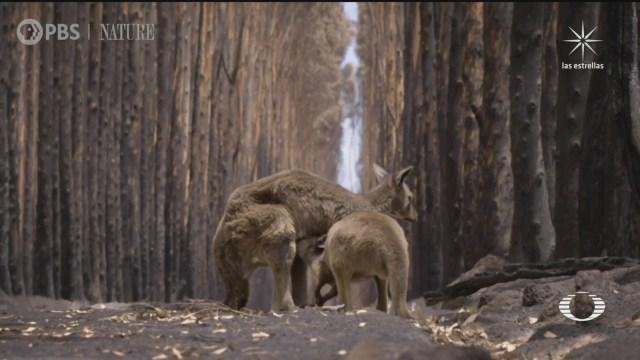 Documental de especies rescatadas de incendios en Australia