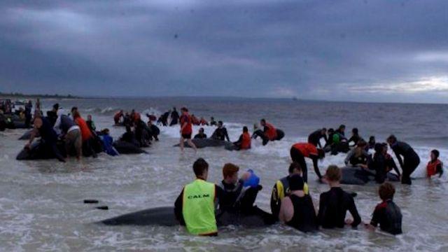 Nueva Zelanda intenta rescatar a 25 ballenas varadas en la Isla Norte