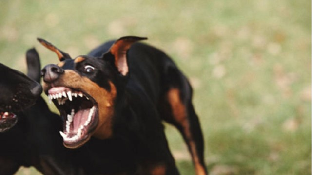 Peleas-de-animales-podrían-ser-delito-en-CDMX