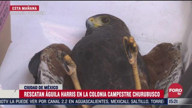 rescatan aguila harris en ciudad de mexico