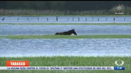 cientos de cabezas de ganado mueren en tabasco por inundaciones