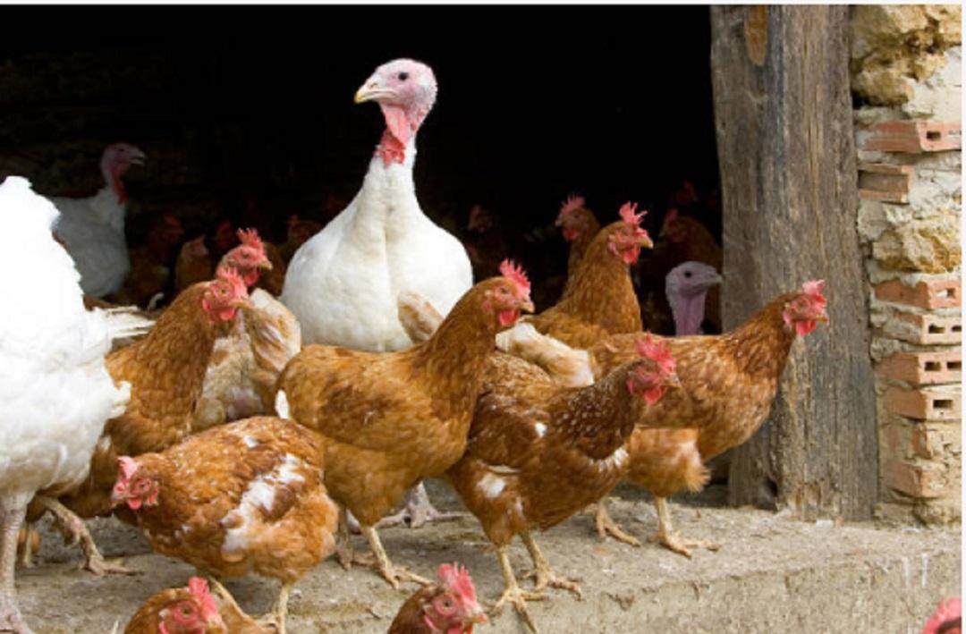 Por-gripe-aviar-en-Dinamarca-sacrifican-25,000-aves