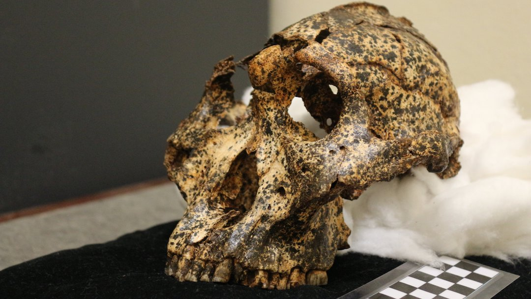 Paranthropus Robustus Cráneo Fósil Foto