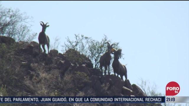 bisontes y borregos cimarrones son protegidos en un criadero militar