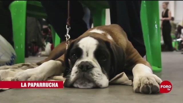 perros en mexico se han contagiado de covid 19 la paparrucha del dia