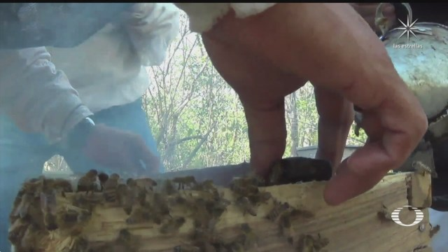 apicultoras mayas regresan a trabajar en la produccion de miel de abeja melipona