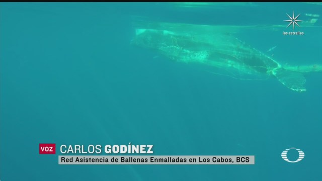 avistan ballenas atrapadas en redes de pesca