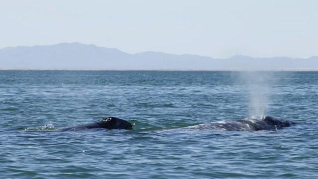 Nacen 34 crías de ballena gris en santuario de Ojo de Libre, en BCS