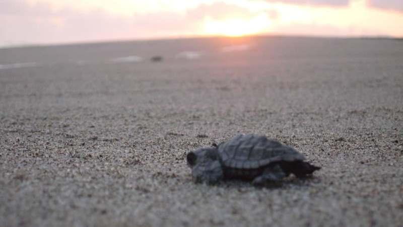 Nacen tortugas laúd en playas de Puerto Escondido