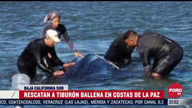 profepa rescata a tiburon ballena en baja california sur