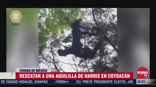 rescatan a aguililla de harris atorada en arbol de la alcaldia coyoacan