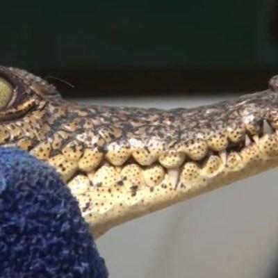Rescatan a cocodrilo en la CDMX