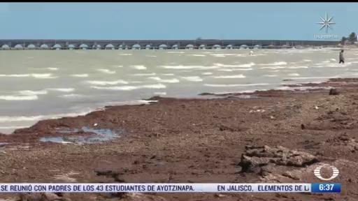 toneladas de algas cubren las playas de yucatan