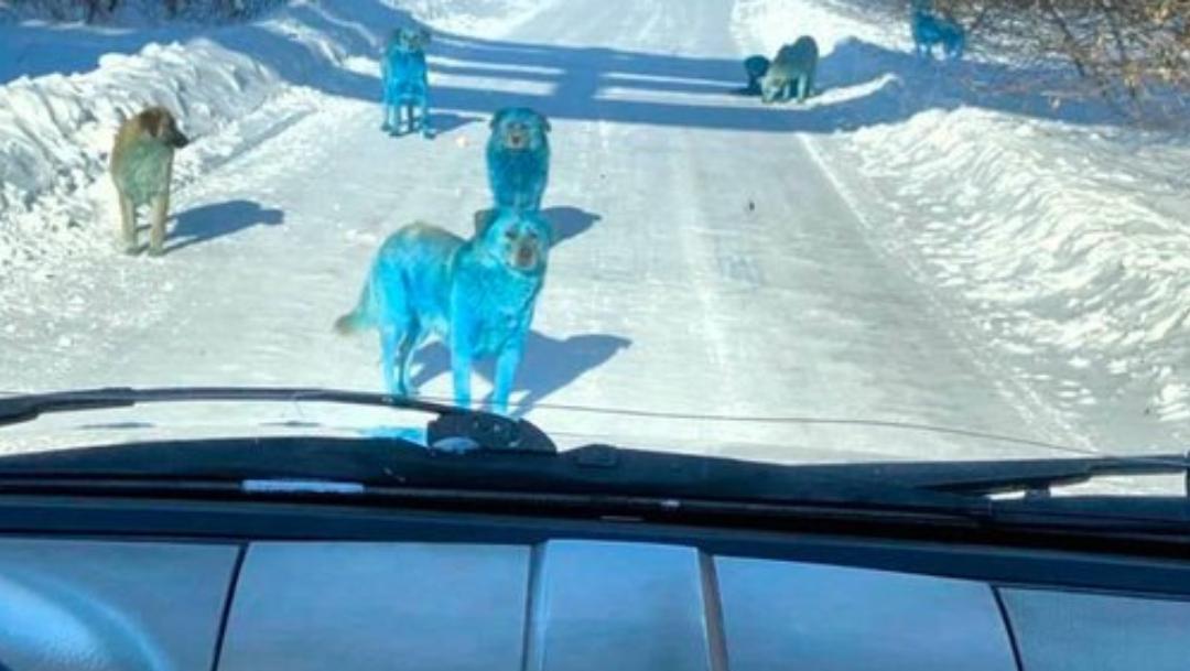 Captan a manada de perros azules en Rusia