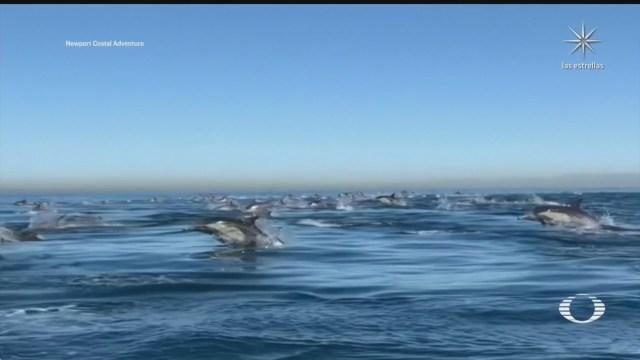 captan a miles de delfines viajando velozmente