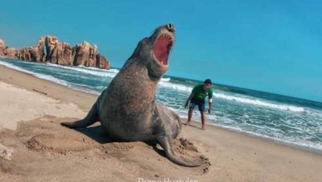 Video: Elefante marino llega a playas de Huatulco, Oaxaca