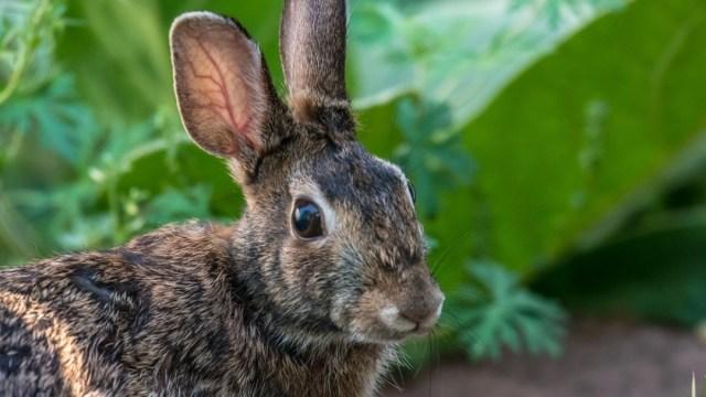 Activan alerta por enfermedad hemorrágica en conejos