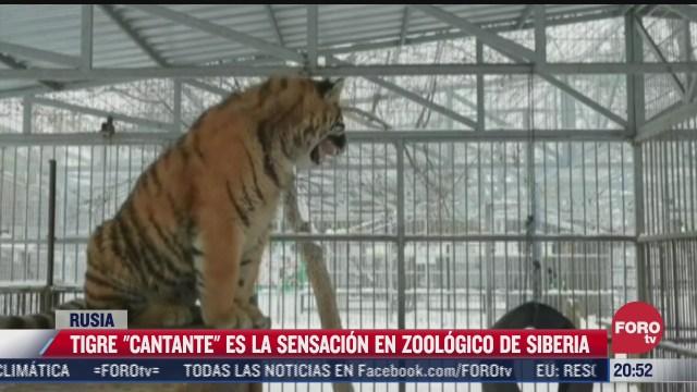 tigre cantante causa sensacion en zoologico de siberia