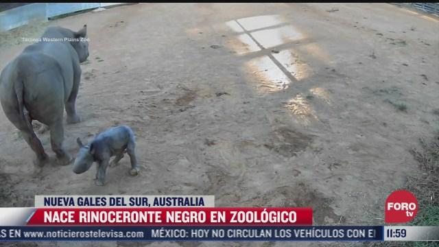 nace rinoceronte negro en zoologico de australia