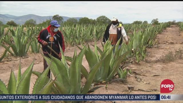 plaga amenaza con destruir 500 hectareas de agave en hidalgo