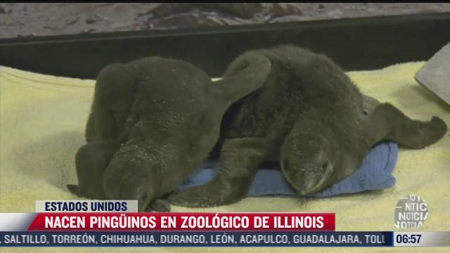 nacen pinguinos en zoologico de illinois
