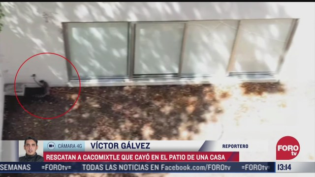 rescatan a cacomixtle que cayo al patio de una casa en coyoacan