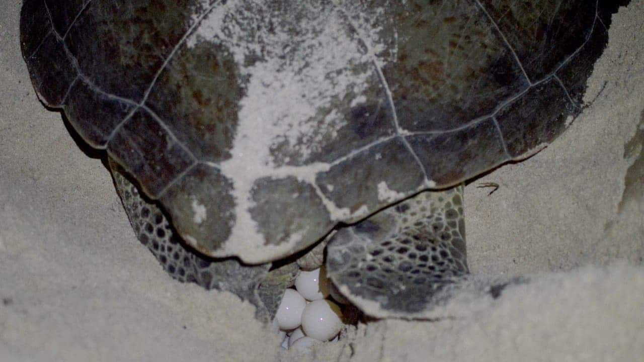 Aumenta anidación de tortugas marinas en Campeche