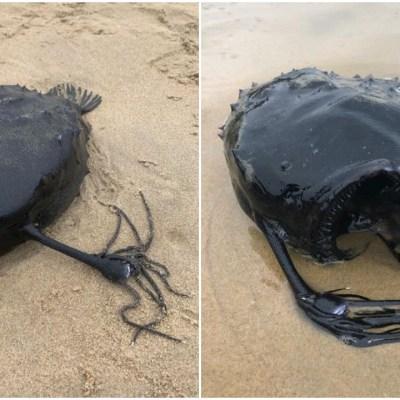 Encuentran ejemplar de extraño pez balón en California