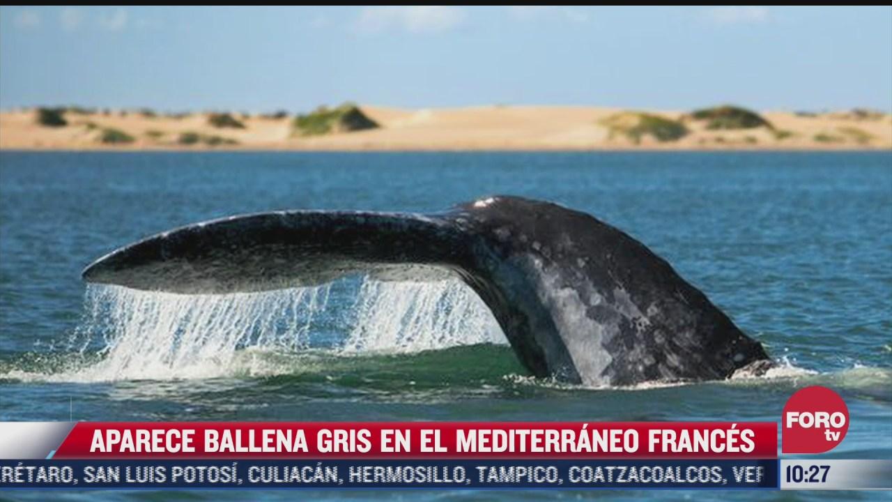 extra extra aparece ballena gris en el mediterraneo frances