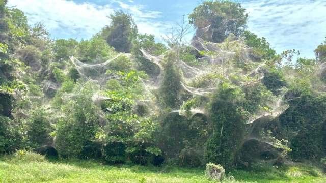 Inusual fenómeno llena de telarañas a Chetumal