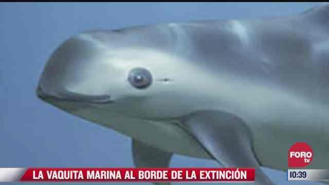 la vaquita marina al borde de la extincion