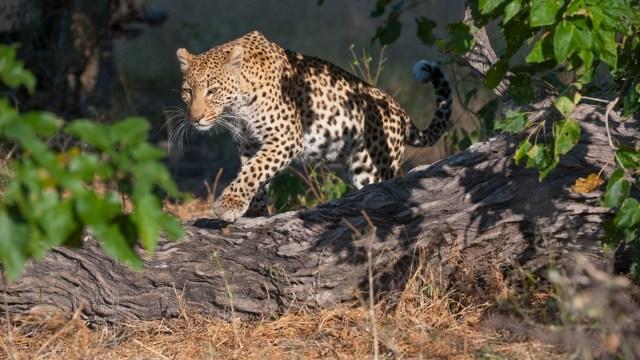 Pánico en China por escape de leopardos de un parque de animales salvajes