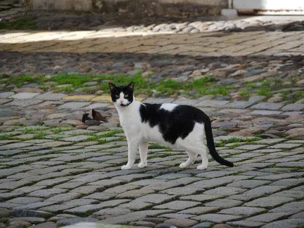Liberan gatos en Chicago para combatir plaga de ratas