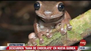 extra extra descubren rana de chocolate en nueva guinea