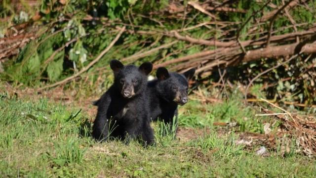 Captan a familia de osos en una construcción en Nuevo León