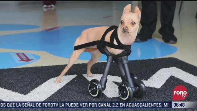 mexicanos desarrollan dispositivos para ayudar a mascotas con discapacidad