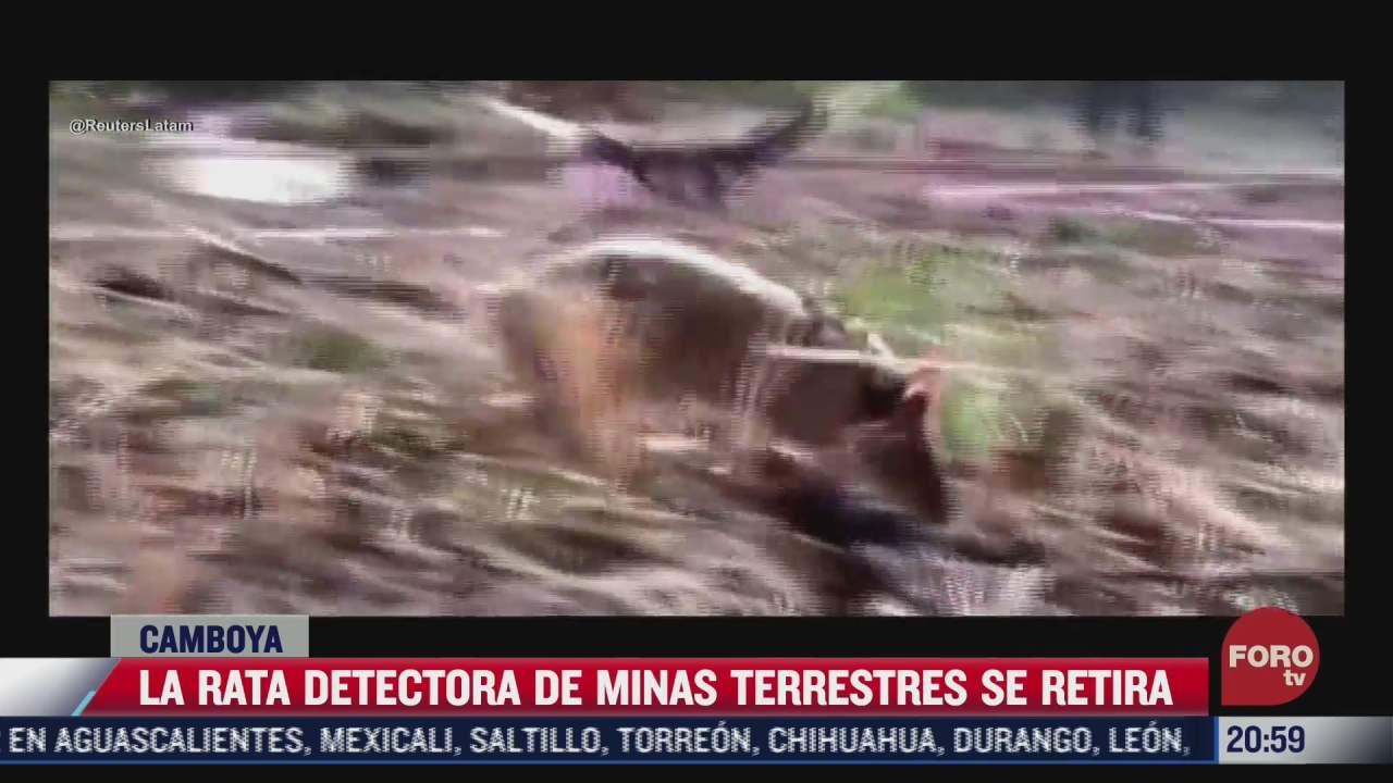 rata detectora de minas se retira despues de cinco anos de trabajo