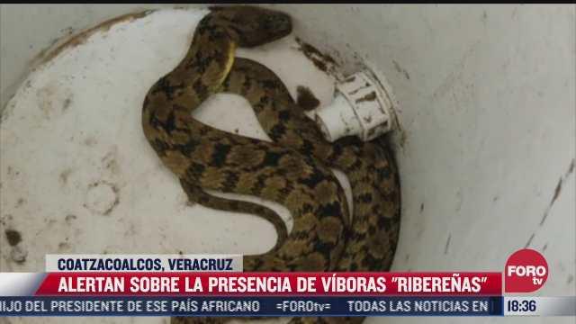 alertan a la poblacion por la presencia de la vibora riberena en coatzacoalcos