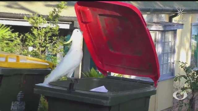 cacatuas de mono amarillo aprenden a buscar comida en botes de basura
