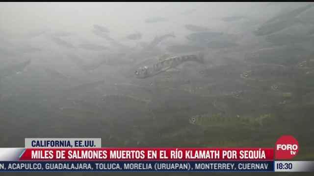 miles de salmones mueren en rio de estados unidos a causa de severa sequia