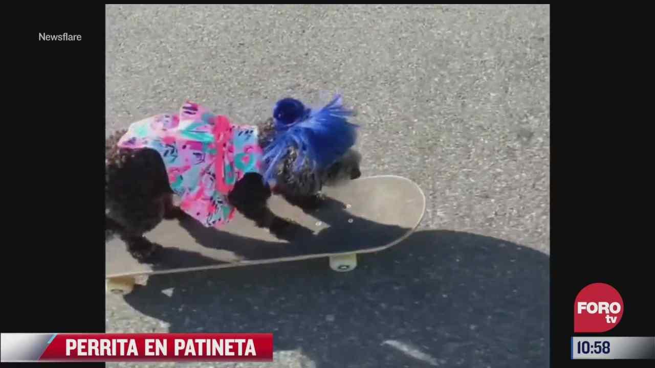 captan a perrita con copete azul en patineta