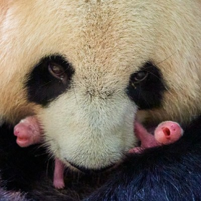 Nacen osos pandas gemelos en zoológico de Francia