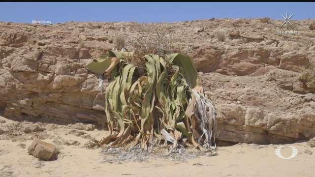 la planta mas longeva del mundo