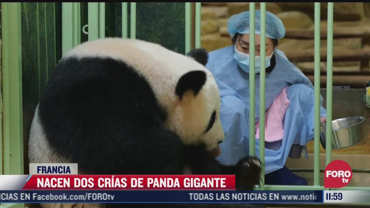nacen dos pandas bebes en francia